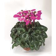 Cyclamen persicum, цикламен персидский - Fleur En Vogue F1, Сингента (Goldsmith Seeds) - 1000, 500, 250, 100 с фото