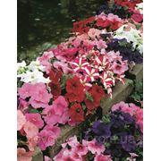 Petunia multiflora, петуния многоцветковая - Hurrah® F1, Сингента (Goldsmith Seeds) - 1000, 500, 250, 100 с фото