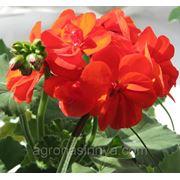 Семена Цветов Пеларгония Бордюр, красная. Производитель: Hem Zaden Ниделанды ( семян в пакете 100 шт. ) фото