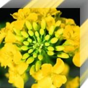 Семена рапса Лембке, от производителя фото