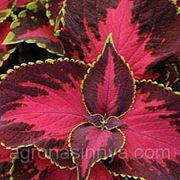Семена Цветов Колеус Чоколат Коверед Чери. Производитель: Pan American США. ( семян в пакете 100 шт.) фото