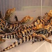 Крокодилы и кайманы фото