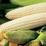 Белая кукуруза фото