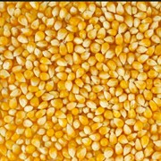 Гiбрид кукурудзи Бiлозiрський СВ