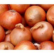 Семена лука Халцедон фото