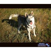 Продажа дрессированные собак под заказ фото