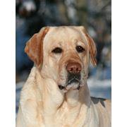Питомники собак, разведение лабрадоров фото