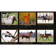 Продажа жеребцов выездкового направления, лошадей хобби-класса или пони фото