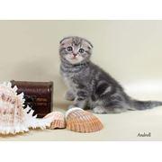 Шотландские вислоухие кошки и котята. Продажа фото