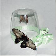 Продажа куколок тропических бабочек для самостоятельного выведения бабочек в домашних условиях. фото