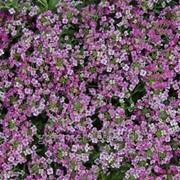 Алиссум Rose 1.0 13 фото