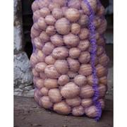 Семенной картофель , Плодоовощные культуры, Картофель, Чернигов фото