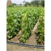 Выращивание посадочного материала столовых и кишмишных сортов винограда фото