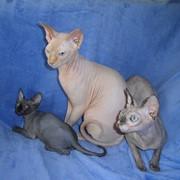 Котята канадского сфинкса из питомника фото