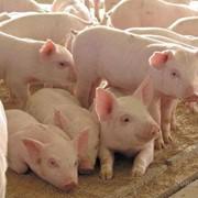 Полнорационный комбикорм для выращивания свиней на фермерских хозяйствах ХОЛОСТЫЕ свиноматки Для кормления свиноматок 2-го периода супоросности и подсосных фото