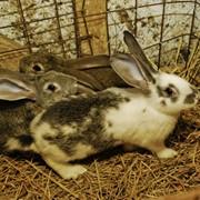 Кролики пород Серый великан, Белый великан, Бабочка фото