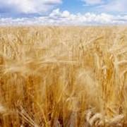 Зерновые культуры - выращивание фото