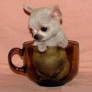 Питомник Элефант декоративные собаки чихуахуа чихуа хуа фото