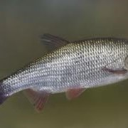 Рыба Язь фото