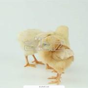 Суточный молодняк птицы фото