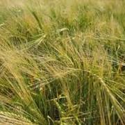 Семена озимого ячменя Луран фото