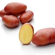 Картофель сорт Розара фото