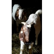 Козы и козлы.Англо-Нубийские, Бурские . фото