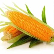 Семена кукурузы РОДНИК 292 МВ фото
