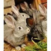 Мех кролика (шкурка) фото