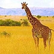 Сафари по паркам Танзании фото