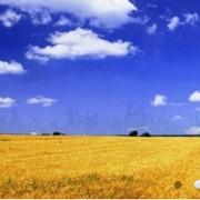 Переработка пшеницы заказчика на крупу фото