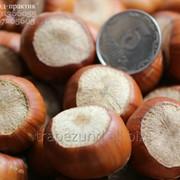"Саженцы высокоурожайного, крупного фундука ""Трапезунд"" на сезон 2014-2015 фото"
