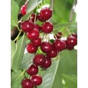 Саженцы вишни Мелитопольская десертная фото