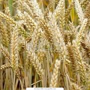 Пшеница мягкая яровая фото
