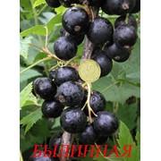 Саженцы черной смородины фото