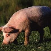Свиньи, Свиньи мясных пород фото