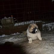 Кавказской овчарки щенки фото