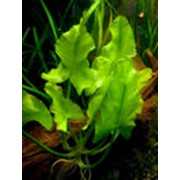 Растения аквариумные фото