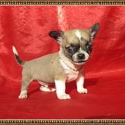 Чихуахуа гладкошерстные щенки фото