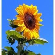 Floarea soarelui in Moldova фото