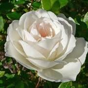 Сажанцы роз. Розы: плетистые, бордюрные, английские, чайно-гибридные фото