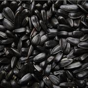 Ядро семян подсолнечника масличные сорта фото