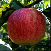 Яблоки летние сорта фото