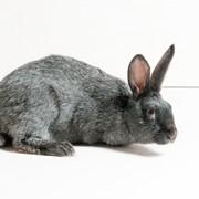 Кролики породы Серебристые фото