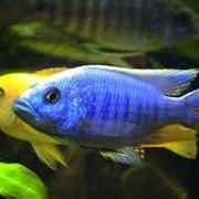 Разведение аквариумной пресноводной рыбы фото