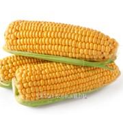 Семена кукурузы Днепровский 181 (Гибрид Раннеспелый) фото