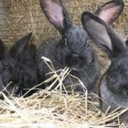 Шкурки серебристого кролика купить Украина , Обухов фото