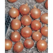 Семена лука, Тамара F1, производитель: Bejo (упаковка 250000 сем.) фото