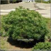 Сосна Pinus nigra Brepo фото