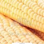 Семена кукурузы Венгерской селекции Mv 251 TC фото